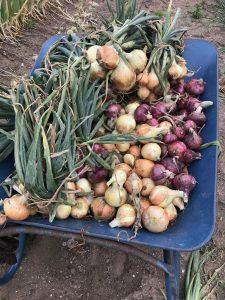 田舎でとれた野菜