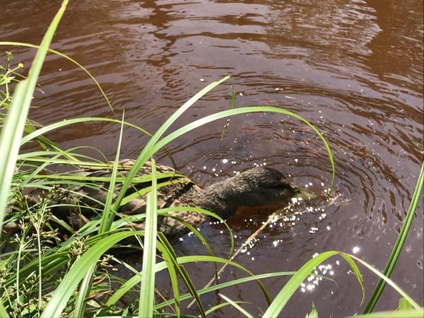 大正池のカモ