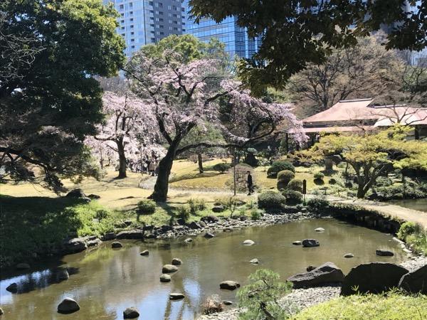 小石川後楽園の枝垂桜